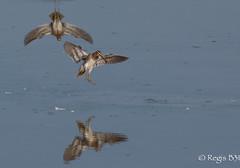 Amerrissage immédiat... (Régis B 31) Tags: bécassinedesmarais charadriiformes commonsnipe gallinagogallinago scolopacidés ariège bird domainedesoiseaux mazères oiseau