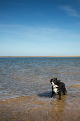 Sea Dog (Captain192) Tags: dog dogs spaniel collie bordercollie spanielcolliecross sprollie sea northsea paddling beaches sand sky sun norfolk norfolkcoast norfolkbeaches bluesky horizon
