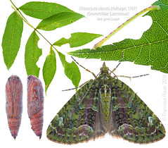 Life stages of the Red-green Carpet (Franziska Bauer) Tags: chloroclystasiterata geometridae nachtfalter moth metamorphosis metamorphose schmetterling lepidoptera pupa caterpillar raupe