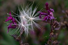 Just passing through (hehaden) Tags: seeds plant globeartichoke autumn fall garden sussexprairies sussexprairiegarden henfield sussex sel90m28g