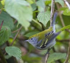 Chestnut-sided Warbler (Nkwali) Tags: chestnutsidedwarbler northamericanbird rosettamclain toronto