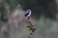 Mckinnon shrike (supersky77) Tags: mckinnon shrike bird uganda africa lake bunyonyi itambira island