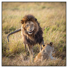 Lions Mating (Thomas Kirschenmann) Tags: lion lioness serengeti maasai mara kenya africa safari wildlife tanzania