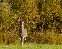 Hunter ? (Alan McCollough) Tags: automne autre beauce lieux stcôme wildlife deer
