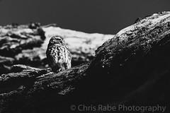 Little Owl (Athene noctua) (chris_rabe) Tags: richmonduponthames england owl nature birds perched evening westlondon unitedkingdom europe richmond london tree uk parks bird park outdoors sunlight littleowlathenenoctua raptor trueowlsstrigidae eyes