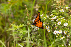 7K8A7634 (rpealit) Tags: scenery wildlife nature weldon brook management area monarch butterfly