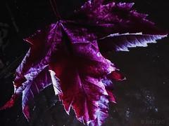 Mirrored Leaf 🍁 (PinoyFri) Tags: leaf blatt sheet folio foliant feuille 葉 dahon foglia 잎 blad reflecting reflexion spiegelung 반사 riflessione réflexion rückstrahlung ahornblatt mapleleaf feuilledérable hojadearce