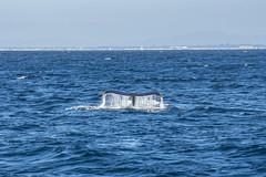 whale4Oct5-18 (divindk) Tags: anacapa anacapaisland channelislands channelislandsnationalpark humpbackwhale megapteranovaeangliae sanmiguelisland santabarbara santacruzisland santarosaisland underwater ventura blueocean cetacean diverdoug flukes marine marinemammal ocean reef sea underwaterphotography whale whaletail