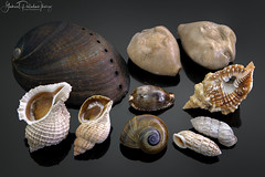 Worldwide shells (Gabriel Paladino Photography) Tags: shell marine haliotis haliotiscracherodii distorsio distorsioperdistorta trophon trophongeversianuscancellada xymenopsis xymenopsismuriciformis cypraea zonaria zonarianigropunctata fossil barycypraea barycypraeacaputviperae land cerion species freshwater lanistesboltenianus lanistes seashell snail animal stilllife nature biodiversity collection gabrielpaladinoibañez
