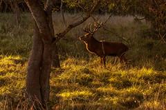 Ciervo (soberasg) Tags: deer ciervo euskalherria salburua fauna animales bosque autumn otoño berrea sunset atardecer
