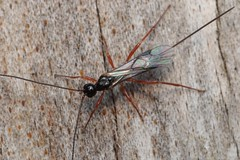 Doryctinae - 17 X 2018 (el.gritche) Tags: hymenoptera france 40 garden braconidae doryctinae female pinus
