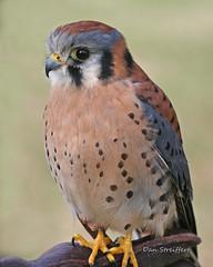 IMG_3537_edited-1.jpg (Dan Streiffert) Tags: birds americankestrel nationalwildliferefuges falcons places ridgefieldnwr