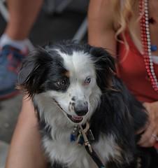 One Blue Eye - One Brown (Scott 97006) Tags: dog canine animal pet cute eyes