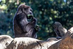 Zooatlanta21Oct2018546.jpg (fredstrobel) Tags: gorrilla wildanimals mammals atlanta animals usa zooatlanta places ga georgia unitedstates us
