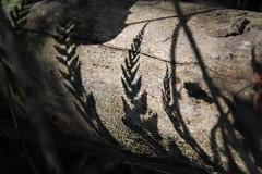 Shadows (jefftome) Tags: ferns fern shadow log sun light