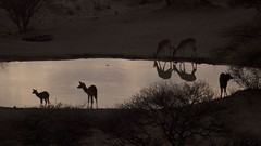 Game reflections (Englepip) Tags: silhouette impala nyala reflections dawn antelope south africa