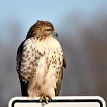 Hawk on a sign thumbnail