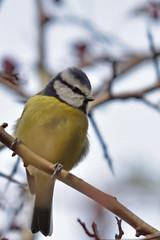 Blue Tit (42jph) Tags: nikon d7200 uk england holywell dene northumberland wildlife nature animal blue tit bird