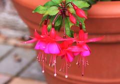 DSC_2169 Fuchsia (PeaTJay) Tags: nikond750 sigma reading lowerearley berkshire macro micro closeups gardens outdoors nature flora fauna plants flowers fuchsia