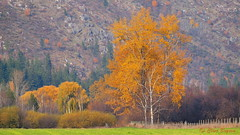 Fall scene in the Salmon Valley, Salmon Arm, BC (clive_bryson) Tags: salmonvalley salmonarm britishcolumbia canada fall autumn clivebryson 169