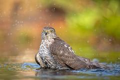 European Sparrowhawk / Sperwer (Wim Hoek) Tags: oktober 2018 herfst autumn fall october
