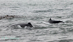 IMG_8371 (b_bev) Tags: montereybay monterey bay california usa wildlife sealife whales dolphins pelicans seals birdlife nature ocean sea