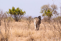 The End? (thisbrokenwheel) Tags: africa krugernationalpark zebra stripes southafrica travel mammal nationalpark sanparks nature wildlife conservation equine plainszebra