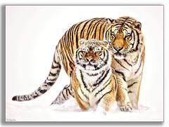 Cosy Pair .... (KevinBJensen) Tags: siberian stripe tigris tigress funny tiger china animals tigers nature paul keates risu