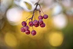 Autumn is Here (lfeng1014) Tags: autumnishere crabapple macro macrophotography closeup bokeh autumncolours autumn redberries berries dof depthoffield canon5dmarkiii ef100mmf28lmacroisusm light lifeng