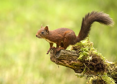 Red Squirrel (pixellesley) Tags: redsquirrel mammal animal wild free jumping feeding playing yorkshire uk woodland sciurusvulgaris lesleygooding wildlife