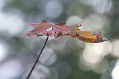 Autumn Curls (amy20079) Tags: bokeh newengland maine fall autumn mapleleaf leaf trees nikond5100 macro dying withered curling curl ravaged worn
