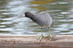 What Do You Mean I've Got Big Feet? (Neal D) Tags: bc abbotsford milllake bird coot americancoot fulicaamericana