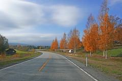 Birch (Leifskandsen) Tags: birch red road way autumn norway nature drive camera leica living leifskandsen skandsenimages scandinavia skandsen