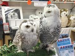 A world exclusive ! (billnbenj) Tags: barrow cumbria owl snowyowl raptor birdofprey