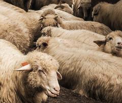 Kondracka Kopa-230 (wichrzu_wichrzu) Tags: mountains mountainlife travel sheeps summer tatry poland nature landscape