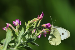 Small White Butterfly at Titchfield Canal, Hampshire, UK (Art-G) Tags: insect smallwhite wildflower greatwillowherb titchfieldcanal titchfield hampshire uk canon eos7dmkii 100400lisusm somethingfortheweekend