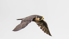 7K8A8320 (rpealit) Tags: scenery wildlife nature state line lookout peregrin falcon bird