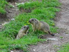 Marmottons sur le sentier de la Combe Ratin (ViveLaMontagne67) Tags: france alpes alpen alps dévoluy bure aurouze marmotton jeune mignon sentier prairie meadow path cute young marmot