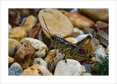 Locust on the rock (prendergasttony) Tags: insect nature nikon d7200 wildlife rock pebble leg feet head outdoors garden wild jacksonville florida america humidity