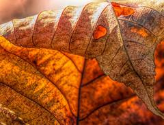 Autumn Folded, Creased & Crinkled (dianne_stankiewicz) Tags: crinkledwrinkledfoldedorcreased hmm macromondays macro leaf nature texture fall folds autumn