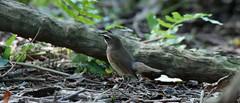 Siberian Rubythroat (khoitran1957) Tags: bird nature vietnam wildlife