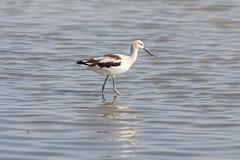 American Avocet (Erik Strahm) Tags: bird americanavocet wetland animal paloalto california unitedstates us
