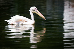 pelican (Cloudtail the Snow Leopard) Tags: pelikan tier animal vogel bird pelecanidae pelecanus pelican zoo stadtgarten karlsruhe