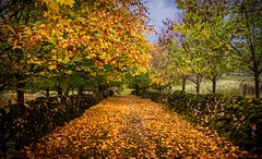 Autumn lane (Phil-Gregory) Tags: nikon d7200 tokina1120mmatx tokina wideangle ultrawide superwide lane autumn leaves trees milldale hartington england light colours scenicsnotjustlandscapes