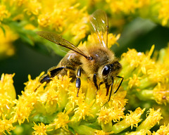 Honeybee on Goldenrod-(Explored09-20-18) (laurie.mccarty) Tags: honeybee yellow plant goldenrod insect nature macro