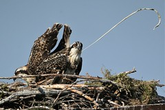 """And little sister says,"""" I can't believe he did that on camera!"""" (Paridae) Tags: osprey ospreynest juvenile birdsofbritishcolumbia birdsofprey birdsofafeather fishingbirds thingswithwings afewofmyfavouritethings raptor pandionhaliaetus canoneos1dx canon500mm featheredfriends partingshots"""