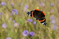 Red Admiral (Tim Melling) Tags: vanessaatalanta red admiral west yorkshire devilsbit scabious succisa pratensis timmelling