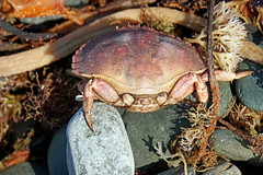 DSC02970 - Crabby..... (archer10 (Dennis)) Tags: sony a6300 ilce6300 18200mm 1650mm mirrorless free freepicture archer10 dennis jarvis dennisgjarvis dennisjarvis iamcanadian novascotia canada marinedrive westernshore soberisland crab dead seaweed shore rocks