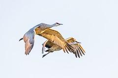 Sandhill Cranes (marc90340) Tags: ridgefieldnationalwildliferefuge canoneos7dmarkii sigma150600contemporary inflight flying backlit wildlife nature bird sandhillcranes