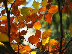 Nochmehr Herbstlaub (1elf12) Tags: foliage herbstlaub autumn germany deutschland harz wald forest leafs smileonsaturday seasonsflora